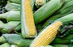 Scott Farms produce is picked at the peak of maturity and freshness, so it's only offered seasonally. Find great produce, such as Scott Farm corn at your local Food City. It won't last long!