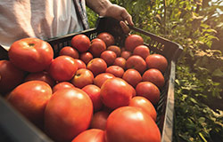 Homegrown Grainger County Tomatoes fro Cameron Farms can be found in the produce section at your local Food City grocery store.